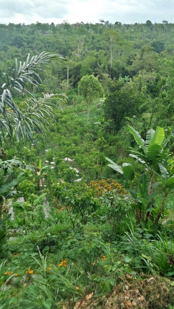 Mandarin és banánültetvény