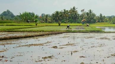 Helyi farmerek a rizsföldön