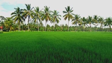 Rizs ültetvény