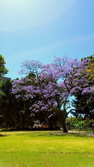 Gézu kedvenc lila fái